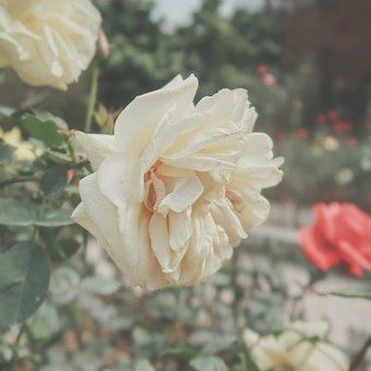 Flower, Rose, Yellow Rose, Petals, Rose Petals, Bloom