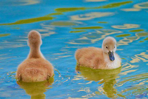 Cygnets, Swans, Birds, Pair, Young, Feathers, Ave