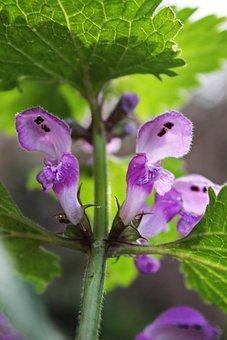 Brennessel, Nettle Flower, Wild Plant, Wild Flower
