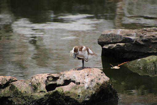 Bird, Duck, Duckling, Perched, Wildlife, Water Bird