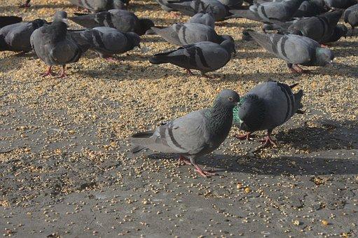 Pigeon, Eat, Dove, Plumage, Feeding, Feather, Food
