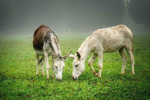 Donkeys, Pair, Grazing, Grass, Pastures, Animals