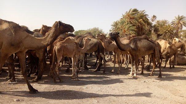Camels, Animals, Desert, Mammals, Actlandher Camel