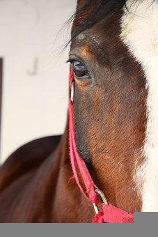 Horse, Bridle, Head, Face, Eye, Mare, Animal, Mammal