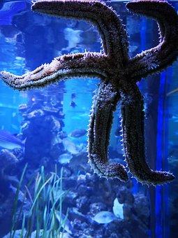 Starfish, Aquarium, Water, Echinoderms, Marine Animal