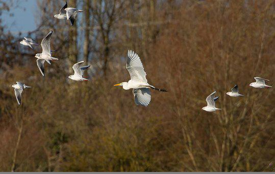 Great White Egret, Heron, Egret In Flight, Flying Egret