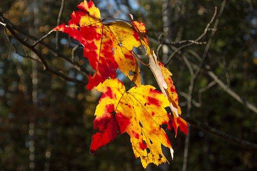 Fall Leaves, Maple Leaf, Autumn, Fall, Leaf, Foliage