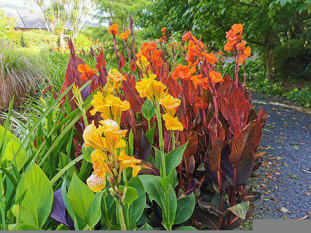 Yellow, Orange, Canna Lily, Summertime