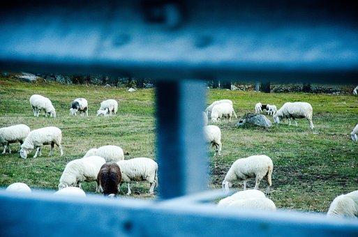 Sheep, Farm, Grazing, Farmland, Pasture, Livestock
