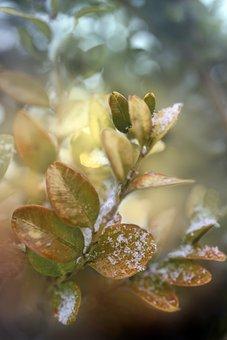 Foliage, Green, Yellow, Boxwood, Winter, Sprig, Bush