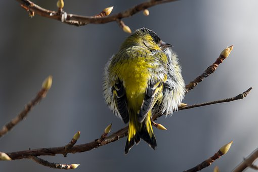 Siskin, Bird, Branches, Perched, Perched Bird, Feathers