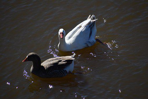 Two Ducks, Duck, Birds, Swimming, Webbed, Pond, River
