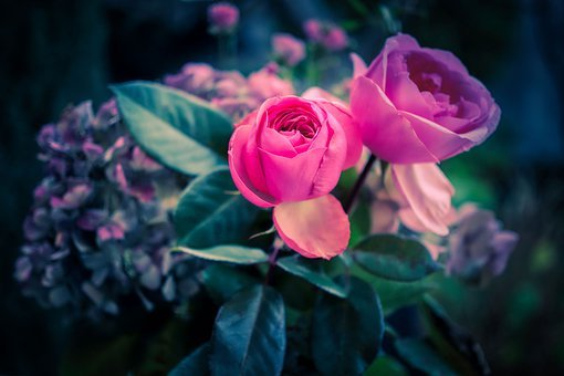 Roses, Bloom, Blossom, Bloom, Bouquet, Flower, Romantic