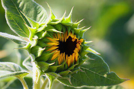 Sunflower, Flower, Bud, Helianthus Annuus, Leaves