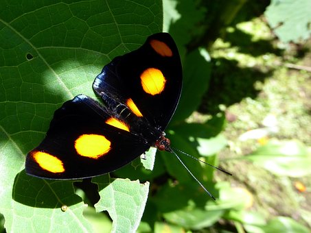 Butterfly, Orange Task, Black, Costa Rica