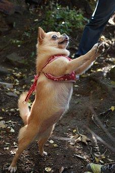 Standing, Dog, Chihuahua