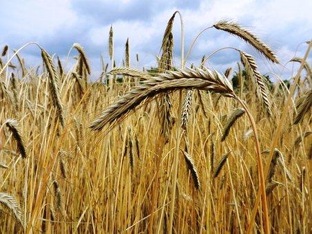 Corn, Ears, Hay, Flour, Grain, Wheat, Rye, Bread, Role