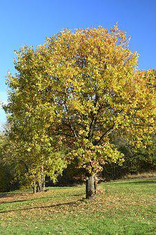Deciduous Tree, Autumn, Innermost, Coloring