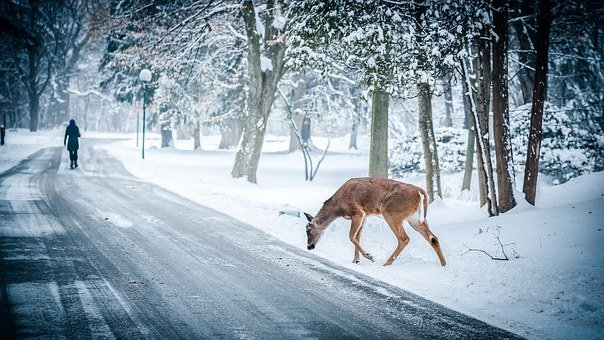 Deer, Crossing, Winter, Snow, Trees, Street, Road