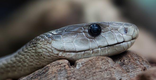 Black Mamba, Dendroaspis Polylepis, Snake, Toxic