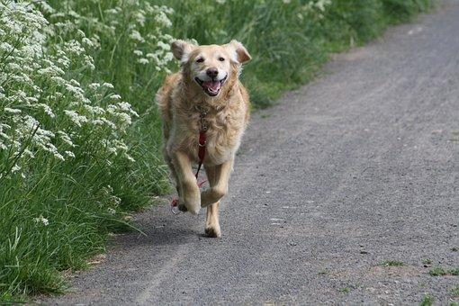 Dog, Golden, Retriever, Golden Retriever, Pet, Big Dog