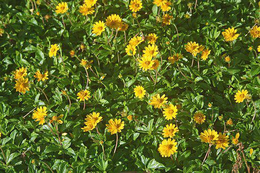 Wedelia, Flowers, Meadow, Lydgate, Green, Background