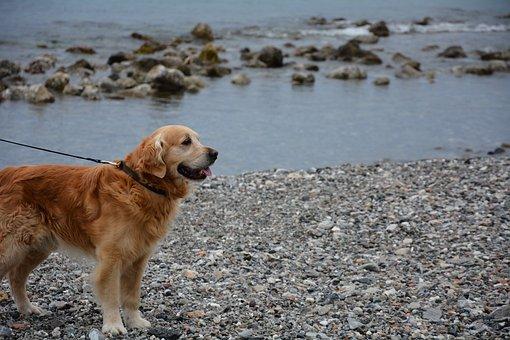 Dog, Golden Retriever, Sea Dog, Dog At The Beach