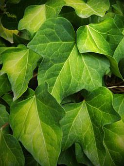 Ivy, Leaf, Green, Yellow, Autumn, Ivy Leaves