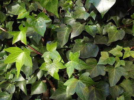 Ivy, Ivy Leaves, Climber, Hedera Helix