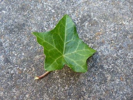 Ivy Leaf, Ivy, Leaf, Green, Still Life, Common Ivy