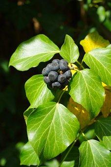 Ivy, Berries, Black, Leaves, Ivy Fruit, Fruits