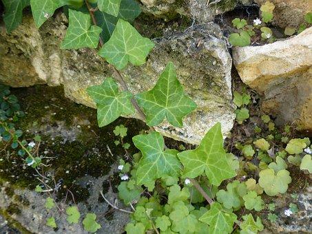 Efeuranke, Ivy, Leaf, Green, Common Ivy, Hedera Helix