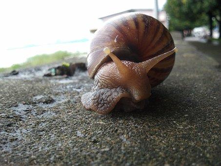 Snail, Mollusc, Shell, Spiral, Gastropod, Slime, Helix