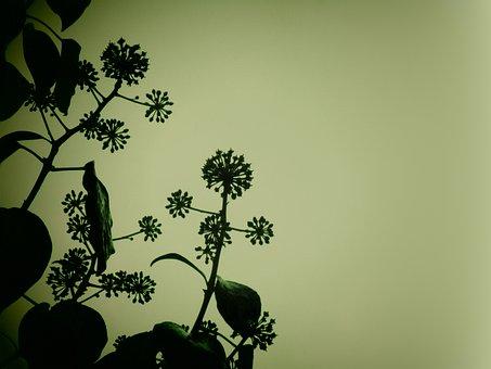 Ivy, Plant, Nature, Dark, Vegetable, Hedera