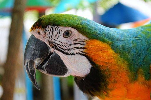 Parrot, Macaw, New World, Bird, Face, Beak, Animal
