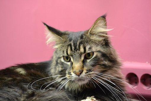 Cat, Mejnkun, Snout, Gray Cat, Views, Pets, Pet
