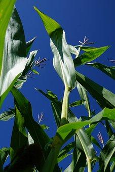 Corn, Plant, Green, Sky, Quantities, Field, Harvest