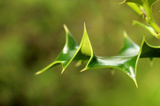 Holly, Prickle, Green, Nature, Tree, Plant, Leaf