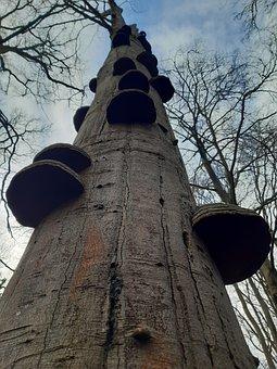 Tree With Tinder Fungus, Hoof Fungus, Fomes Fomentarius