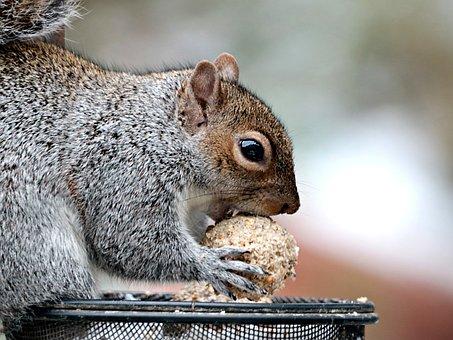 Grey Squirrel, Animal, Furry, Cute, Eating, Fat Ball