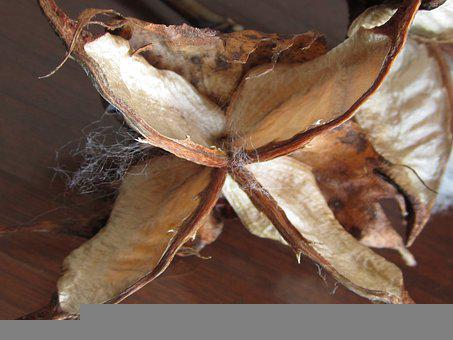 Cotton, Cocoon, Seeds, Plant, Nature, Botany, Organic