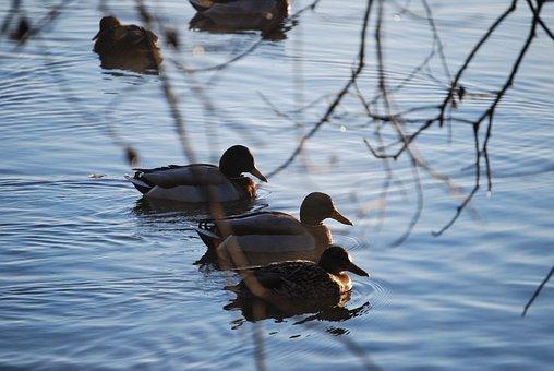 Ducks, Water, Lake, Waterfowl