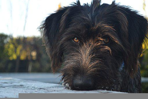 Dog, Black, Cute, German Wire Haired Pointer