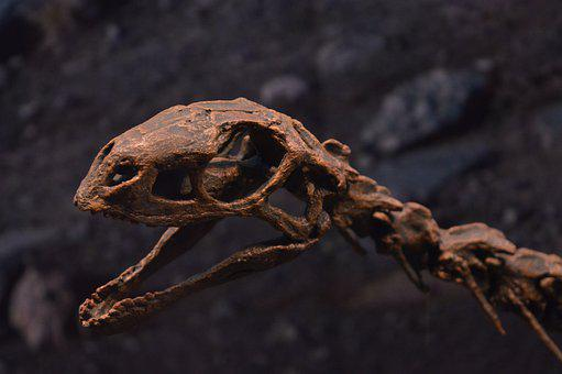 Skull, Dinosaur, Fossil, Paleontology, Bones, Museum