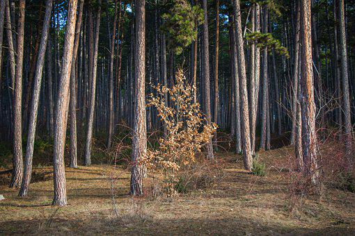 Forest, Coniferous Forest, Pine Forest, Nature