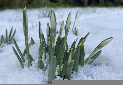 Snowdrop, Flower, Snow