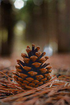 Cone, Pine, Forest, Tree, Nature