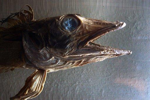 Fish, Museum, Prehistoric, Taxidermy, Death, Head