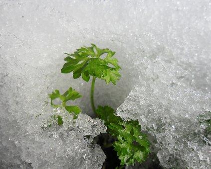 Snow, Parsley, Ice, Frozen