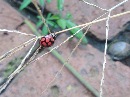 Ladybird, Ladybug, Red, Insect, Garden, Pests